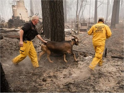 Rescatadores de animales trabajan en medio del incendio de California