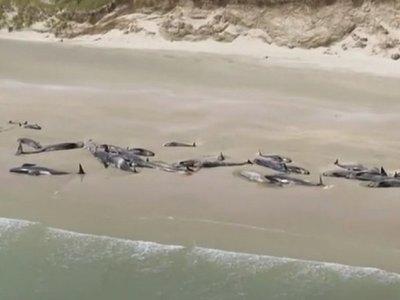 145 ballenas piloto mueren tras quedarse varadas en Nueva Zelanda