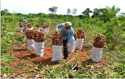 Creciente industrialización de la mandioca en Argentina