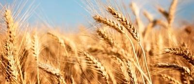 Producción triguera experimentó crecimiento