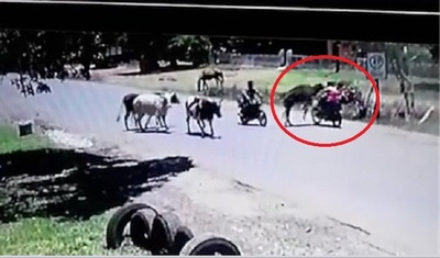 """""""Vaca karateca"""" ataca a motociclista y genera asombro"""