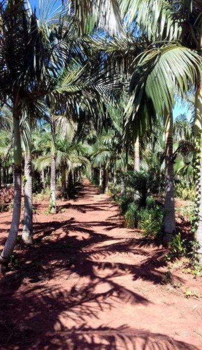 Cultivo de palmeras