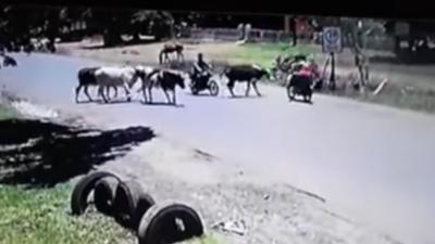HOY / Es paraguaya y no es una vaca cualquiera: su patada voladora a motociclista es viral en el mundo