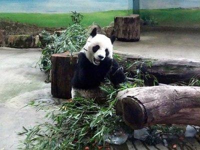 Taiwán coloca un aparato de ortodoncia a panda por primera vez