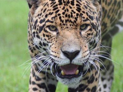 Chiqui, el jaguarete cedido para reproducción, está de regreso