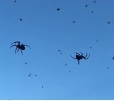 "¡De terror! ""Lluvia"" de arañas en Brasil"