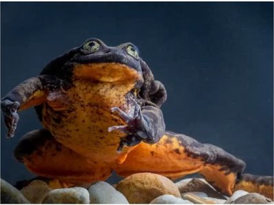 Romeo, solitaria rana en peligro de extinción, encontró a su Julieta