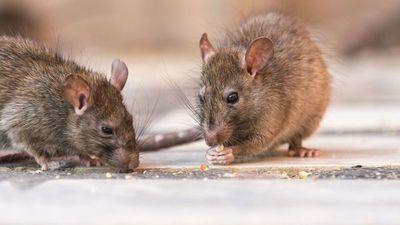 Nuevo virus trasmitido por roedores puede llegar al país, alerta Salud