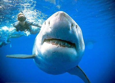 Buzos nadan con gigantesco tiburón en la costa de Hawái