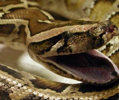 Serpiente pitón muerde en el trasero a una mujer