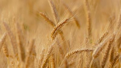 El trigo moverá una gran cantidad de divisas este año