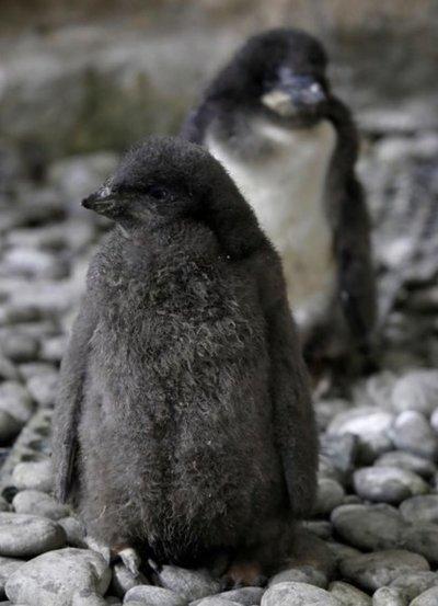 Nacen dos pingüinos de Adelia en zoológico mexicano