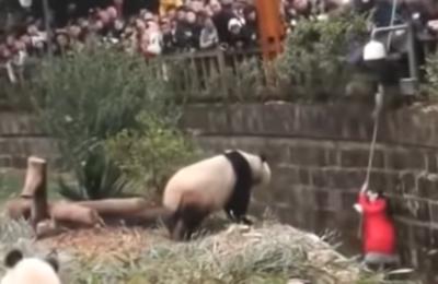 Angustioso rescate de niña que cayó a jaula de osos panda