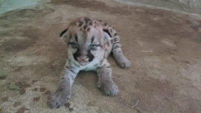 Conocé al nuevo bebé del Zoo de Asunción: El pumita Vale