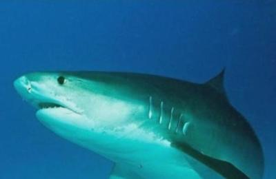Tiburón mordió en la cabeza a un surfista en Brasil