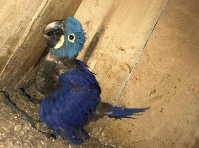 Buscan repoblar guacamayo azul en peligro de extinción