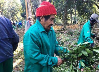 Canindeyú: indígenas exportarán más de 15 toneladas de yerba mate