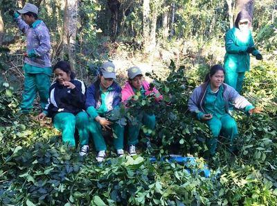 Indígenas exportarán 15 toneladas de yerba mate