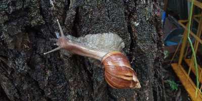 Con la lluvia, aparecen caracoles africanos en CDE
