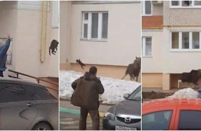 La insólita maniobra de una mujer para espantar a un alce salvaje: le lanzó un gato