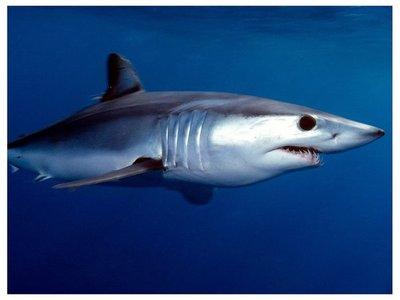 17 especies de tiburones están en peligro de extinción