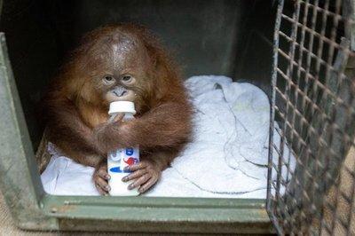Hallan pequeño orangután en una maleta en el aeropuerto de Bali – Prensa 5