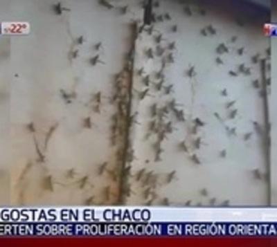 Alerta en el Chaco por nueva proliferación de langostas