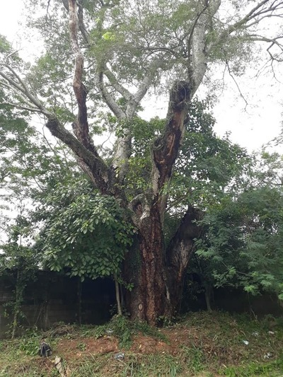 Buscan que el Timbó guasú de Patiño-cue sea patrimonio histórico de Itauguá