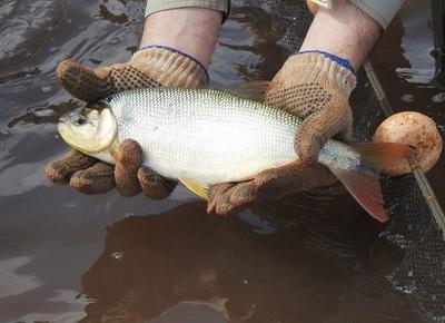 Senacsa certificará pescados de vendedores para confirmar que es apto