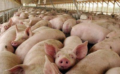 Senacsa implementa Plan Sanitario Porcino del Paraguay