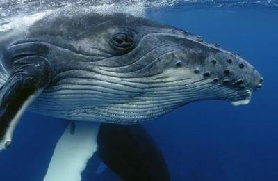 Descubren fósil de una ballena con cuatro patas en Perú
