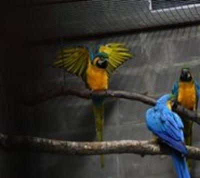 Itaipú conservará 10 guacamayos que están en peligro de extinción