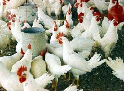 Destacan aumento de la exportación avícola