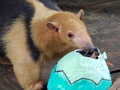 Animales silvestres comieron huevos de Pascuas