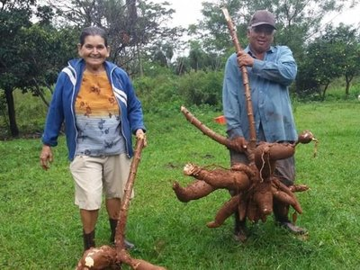 Agricultor se llevó enorme regalo en su  cumple: una mandioca de 29 kilos