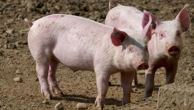 Se viene el II Simposio Paraguayo de Porcinocultura