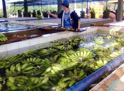 Complicada maraña para la banana en la merienda escolar