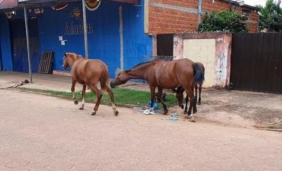 Intendente incumple ordenanza y animales toman las calles