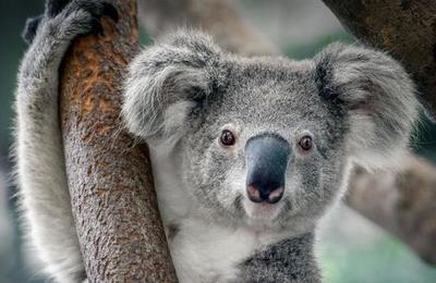 El koala ha sido declarado 'funcionalmente extinto'