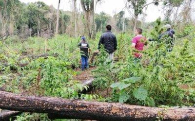 Detectan gran deforestación para producción de marihuana en Parque Nacional de Caazapá