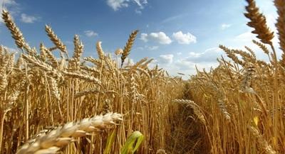 Bancos solventaron cultivo de trigo por G. 281.076 millones a marzo