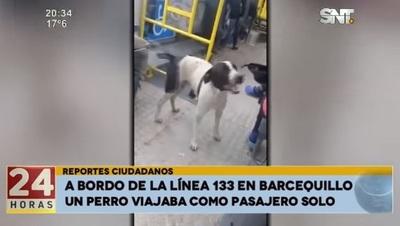Perro pasajero se pasea en bus