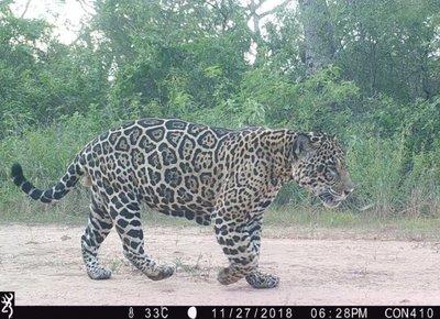 Captan a jaguar y puma en parque chaqueño