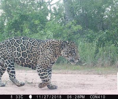 Captan a los felinos más grandes de Latinoamérica, en el Chaco.