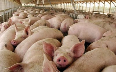 En Expo Pioneros promueven y destacan el potencial para producir cerdos que tiene el Chaco