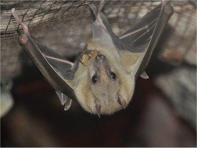 Murciélago hembra cautivo ofrece sexo a cambio de comida