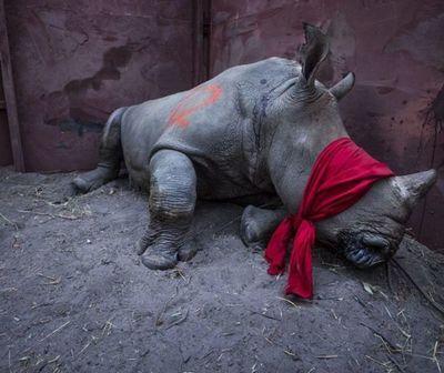 Están en peligro: 70% de los rinocerontes en Malasia amenazados por caza furtiva
