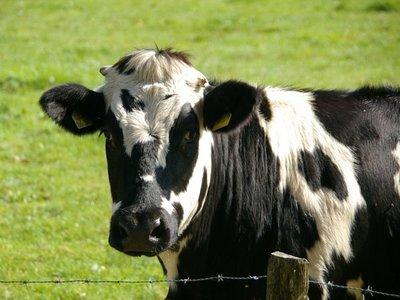 Brasil confirma un caso atípico de vacas locas