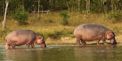 Un hipopótamo de Pablo Escobar pasea por Colombia