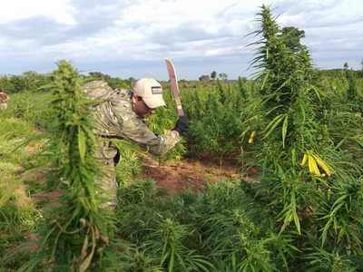 Alianza con Brasil permitió erradicar 14 mil toneladas de marihuana en cinco años